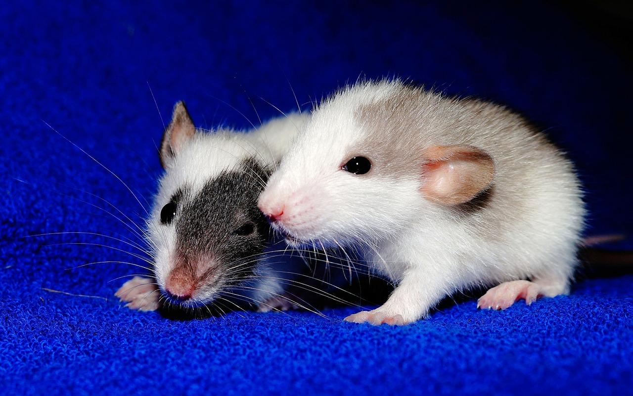 projekt freelancer szczurzy ogon