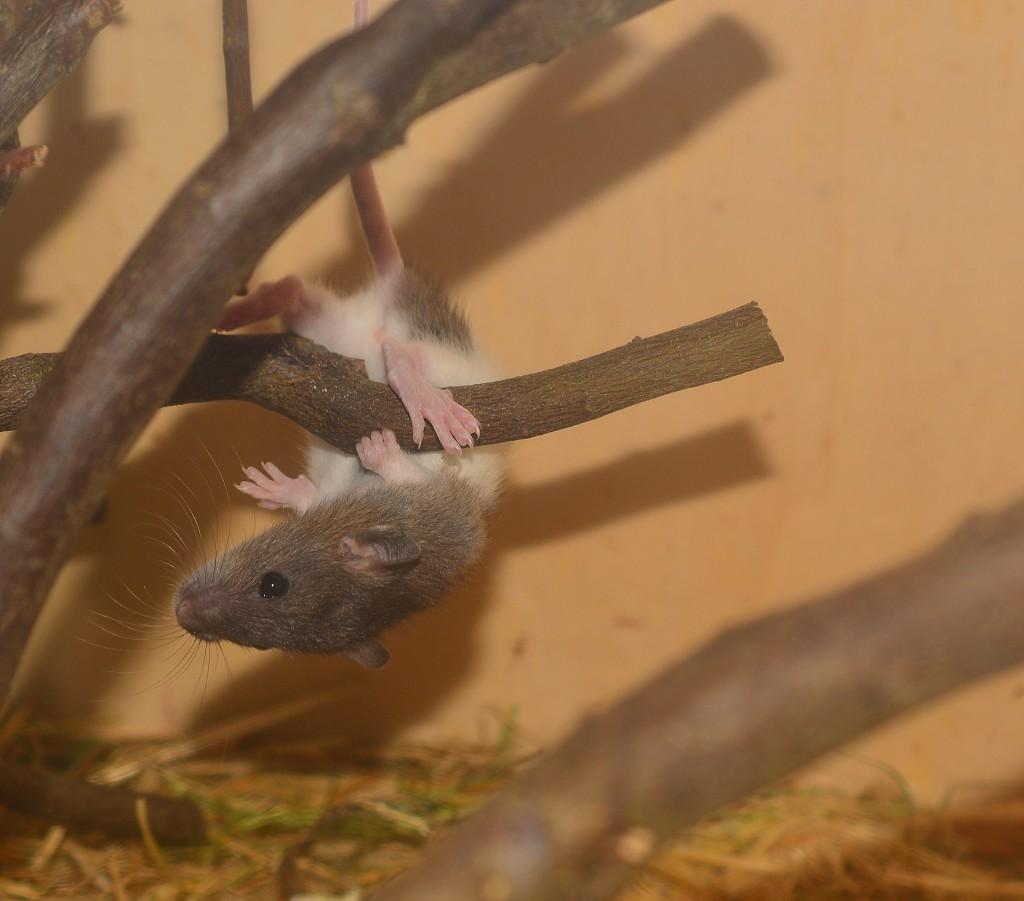 szczur1